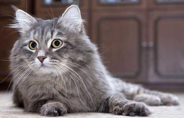 Дымчатая Сибирская кошка лежит