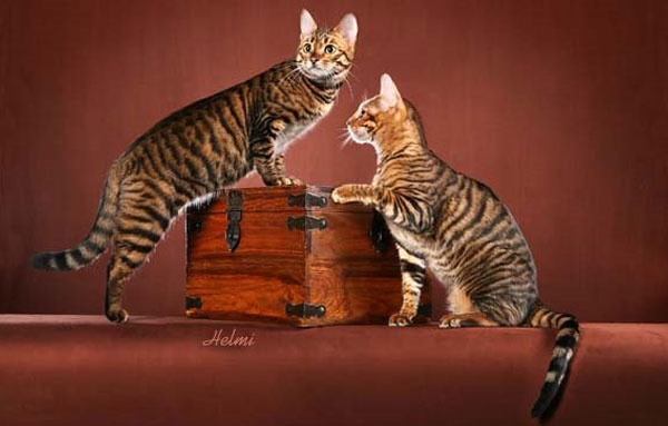 Коты породы Тойгер