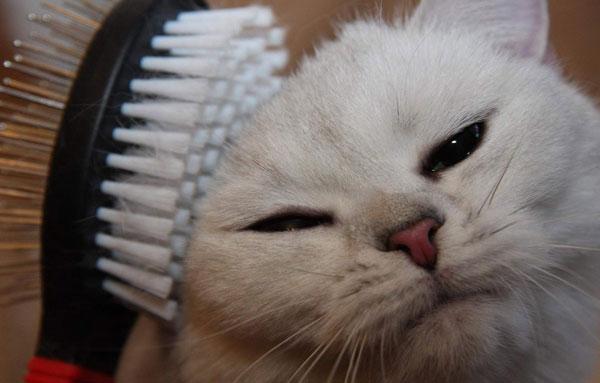 Уход за короткошерстными породами кошек